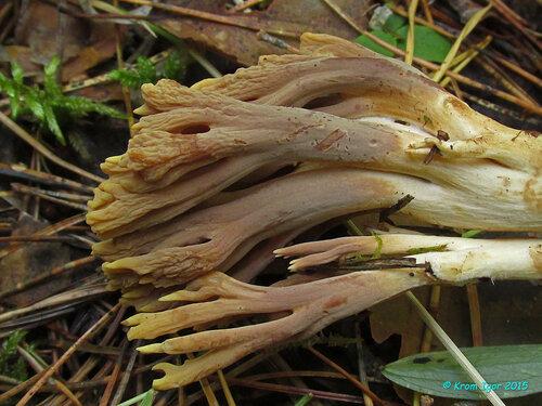 Рамария глинисто-жёлтая (Ramaria testaceoflava) Автор фото: Кром Игорь
