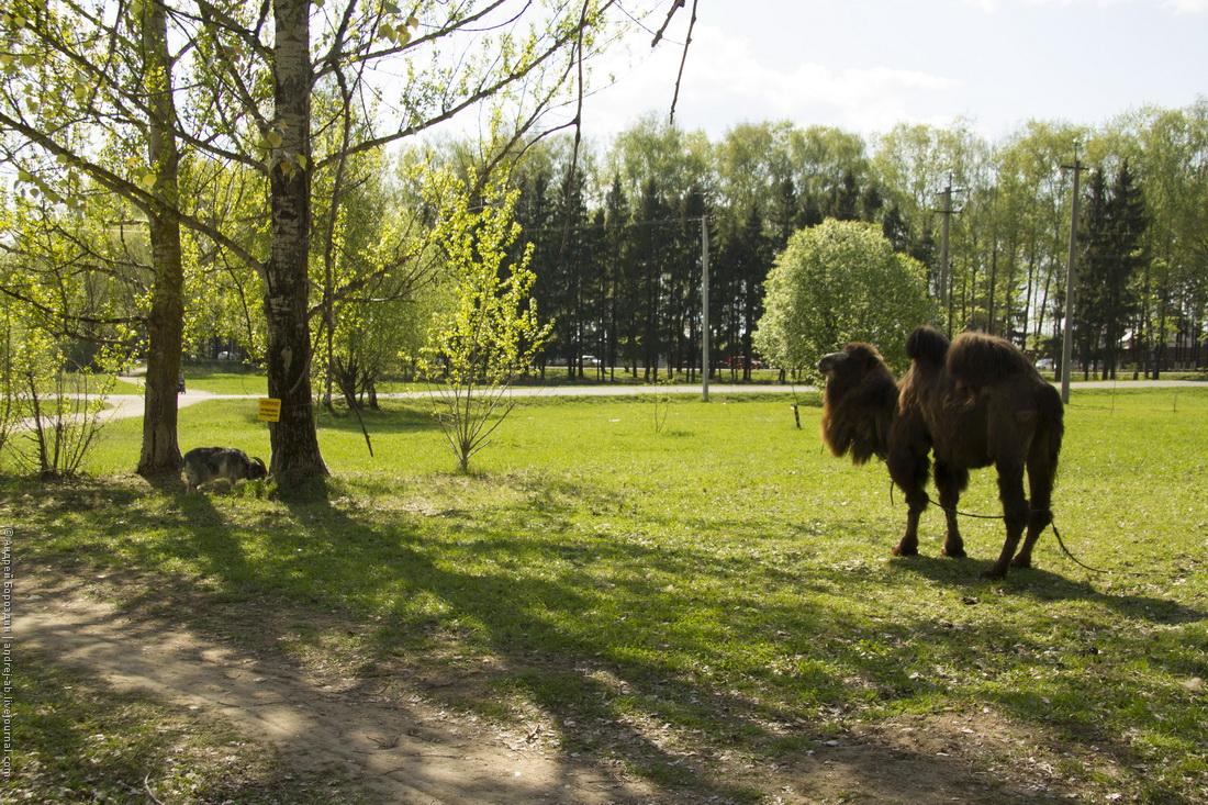 Верблюд и коза у парка 60-летия Победы. Переславль-Залесский.