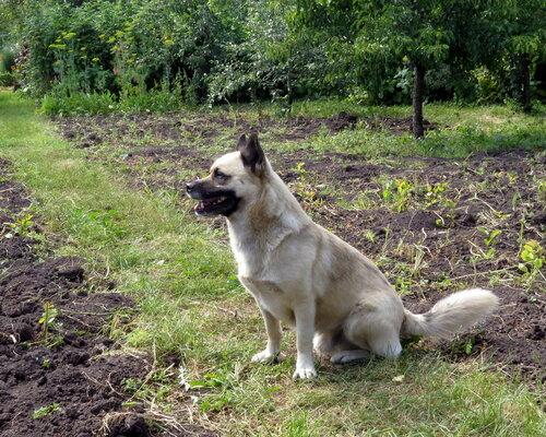 Соседский пёс