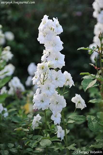 Delphinium elatum New Mill F1 Double Innocence.JPG
