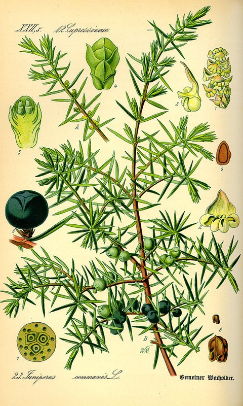 content_614px-Illustration_Juniperus_communis0.jpg