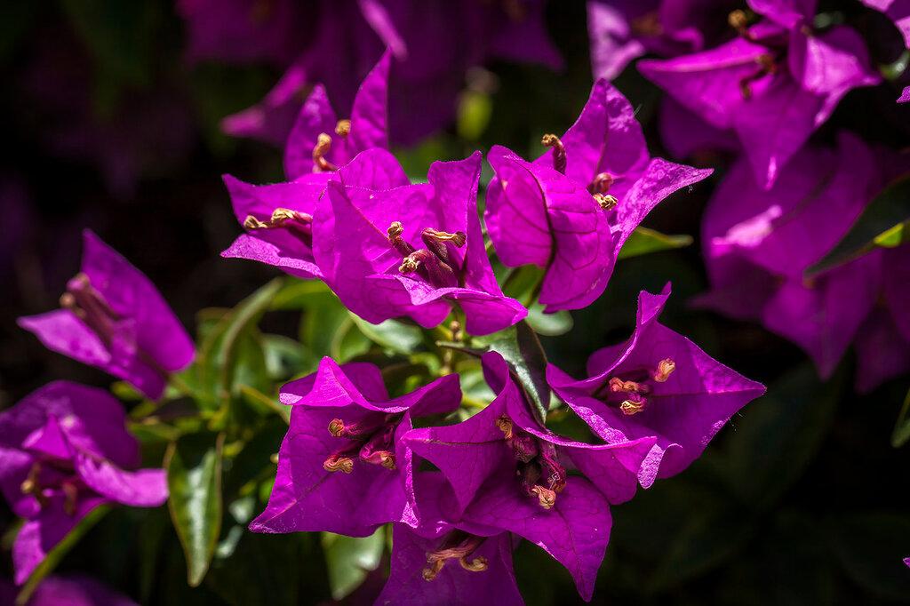 Бугенвиллия цветёт...
