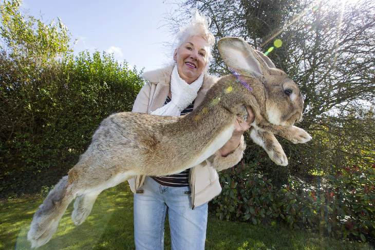 Самый большой в мире кролик (6 фото)