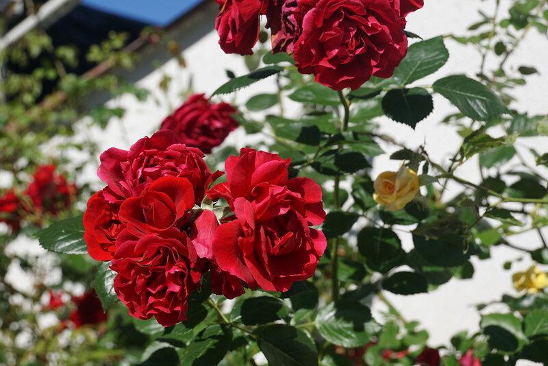 Розы на улицах  Алушты