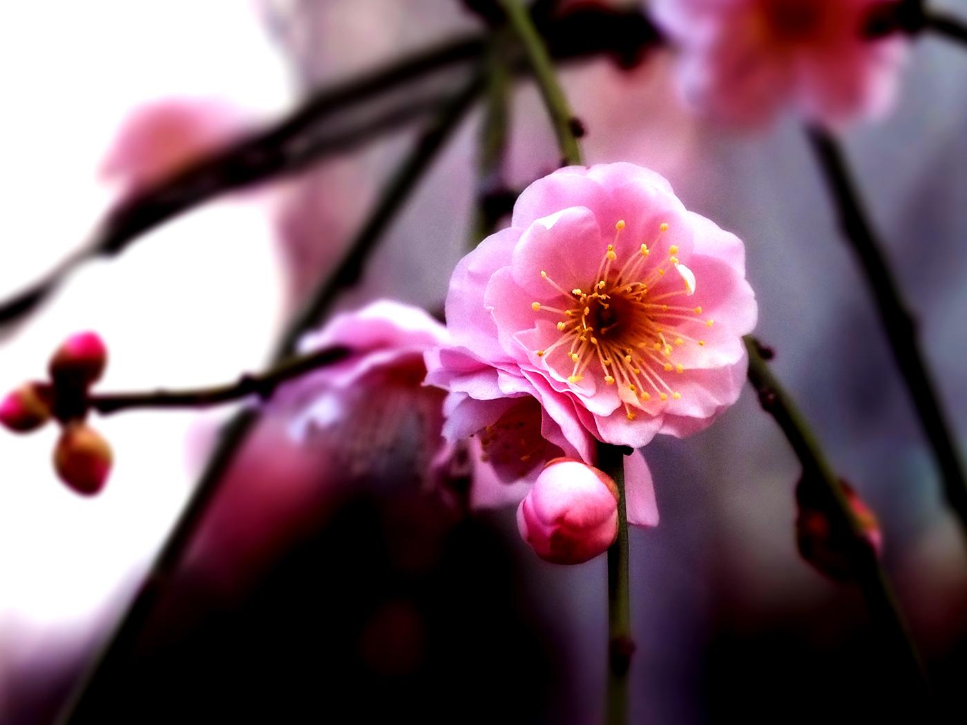ветение сакуры в Японии Plum and cherry blossoms 2017 / фото Dennis Doucet