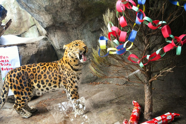 Житель Нью-Йорка леопард Джимми только проснулся, а тут такое!
