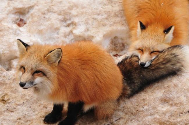 © handai_fox / twitter.com  Вчисле таких мест— лисья деревня «Цао» (Zao Fox Village), котора