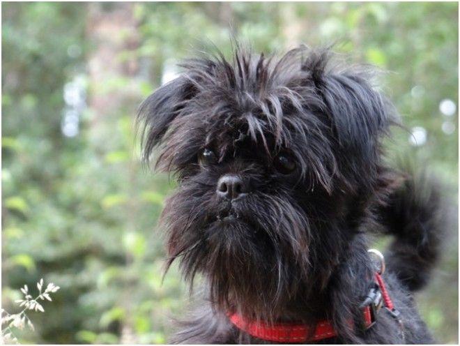 Аффенпинчер Миниатюрные собачки впервые появились в Германии в начале 17 века. Внешне данная порода
