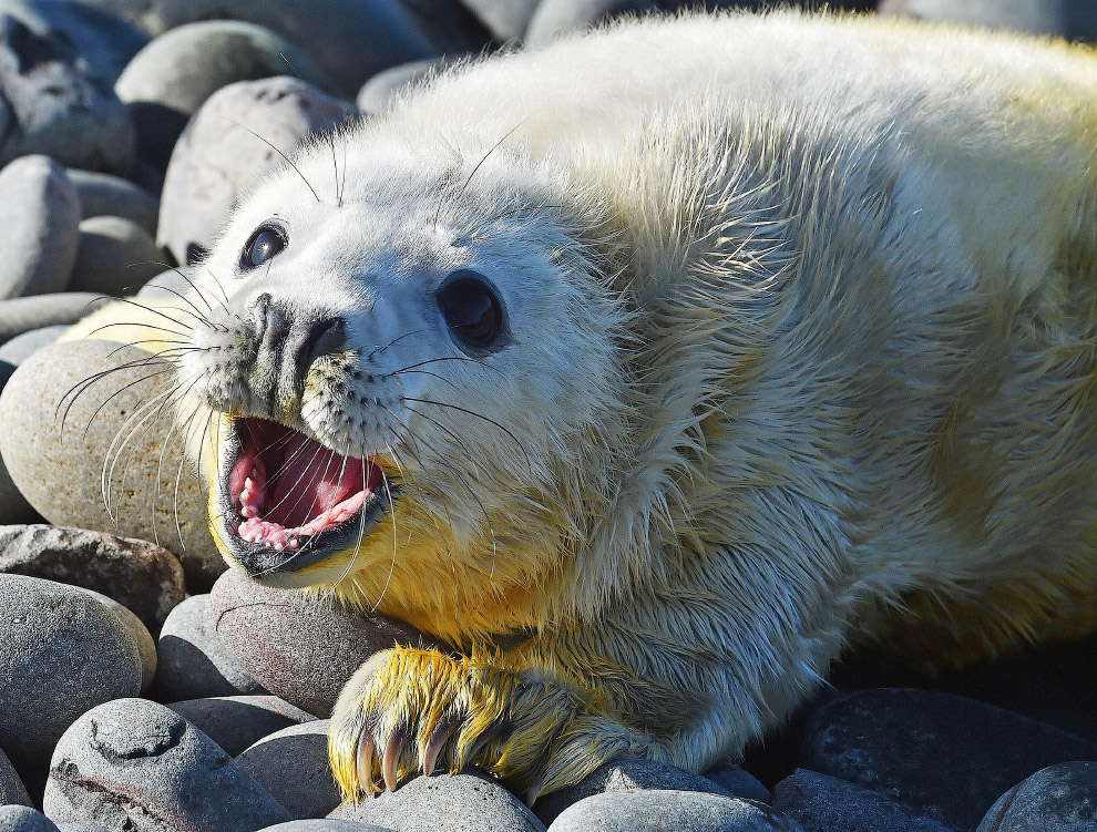 Вот ты какой, мир. Новорожденный тюлень на островах Фарн. (Фото Owen Humphreys)