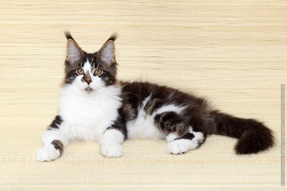 котенок Мейн-кун продам в Москве