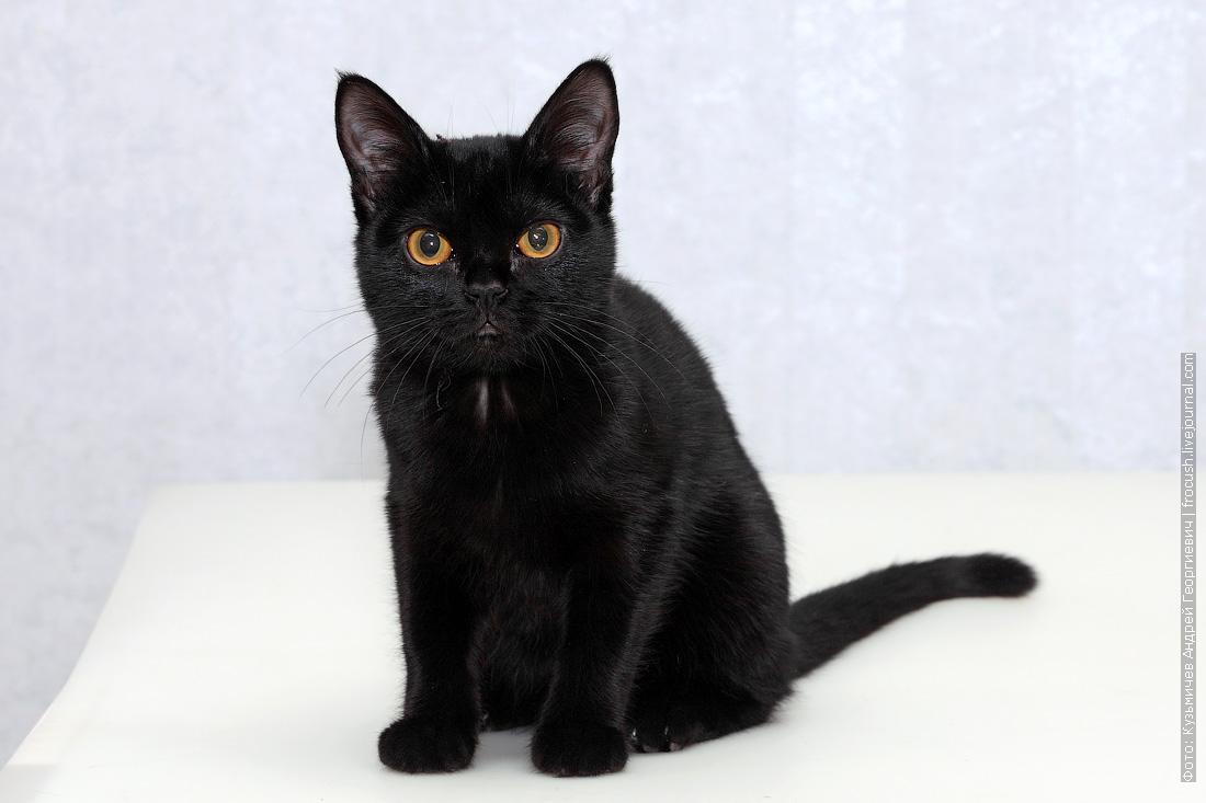 Бомбейская кошка фото