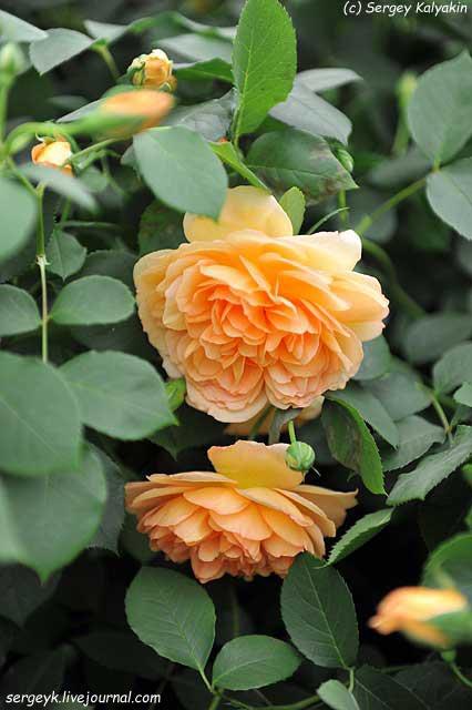 Rosa Dame Judy Dench (3).JPG