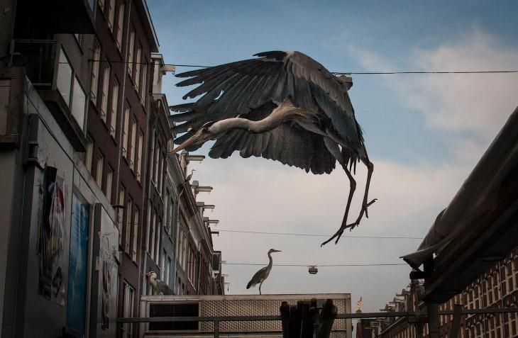 1. Цапли расхаживают в Амстердаме по «хлебным» местам, как наши голуби. (Фото Julie Hrudova):