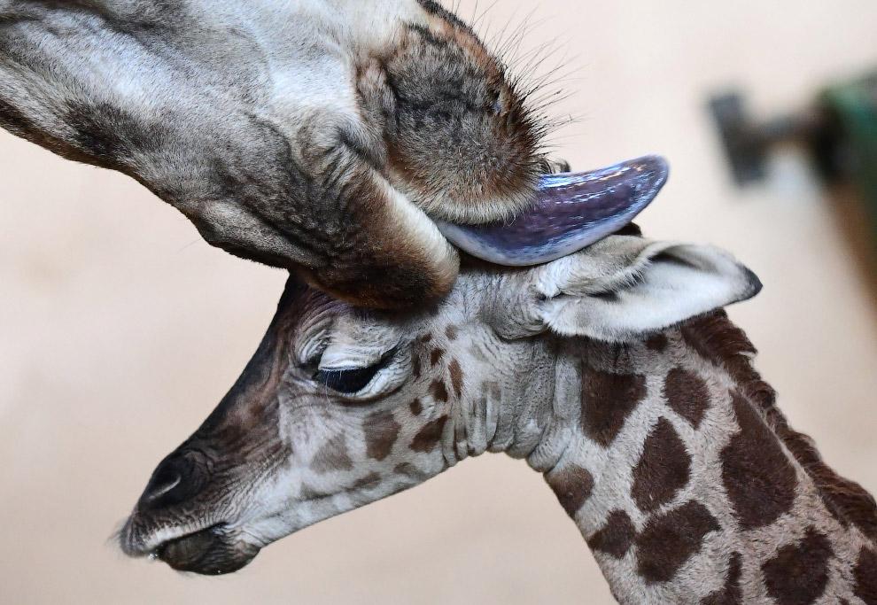 Павлин в Тбилисском зоопарке. Характерным признаком самца является сильное развитие верхних кро