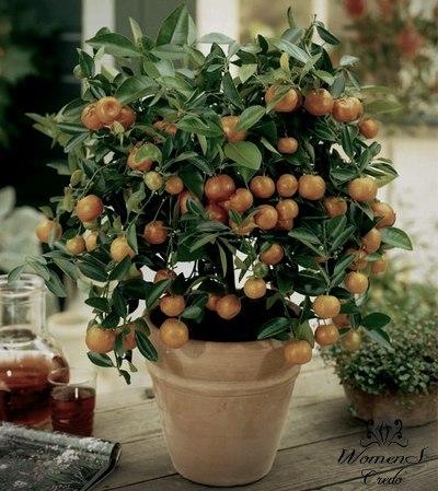 Выращиваем мандарин