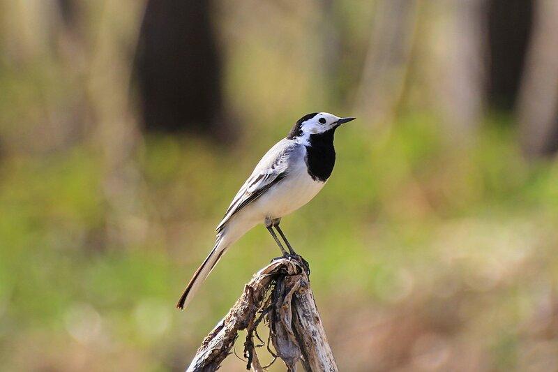 Белая трясогузка (лат. Motacilla alba) - небольшая птичка черно-белой раскраски