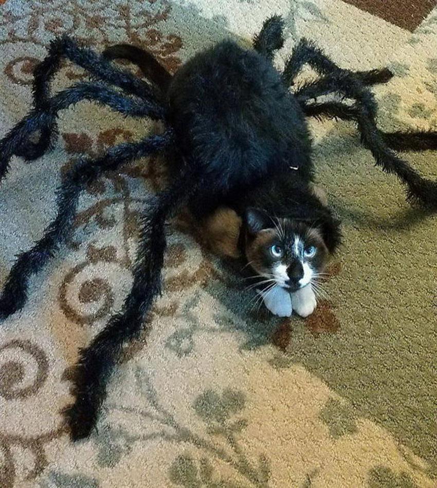 Costumes for cats on Halloween