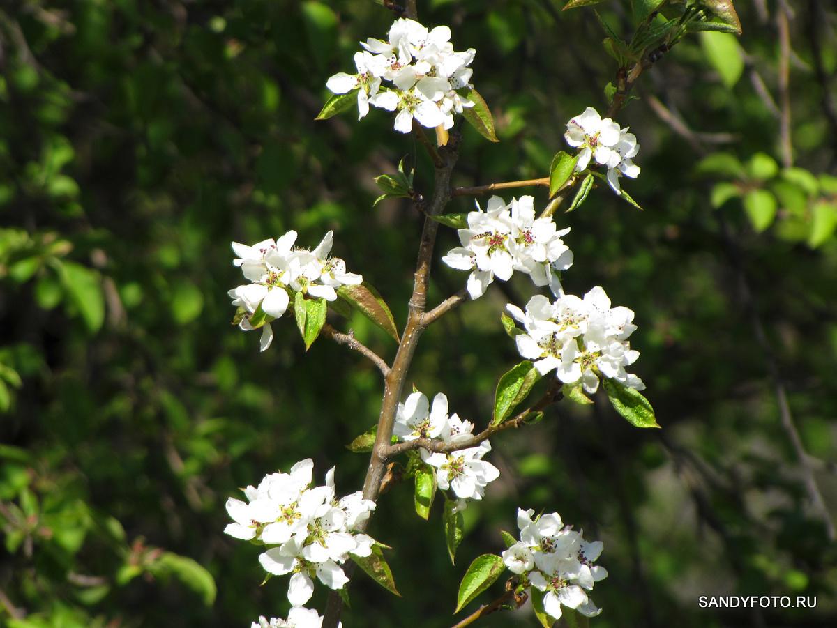 Как цветёт груша?