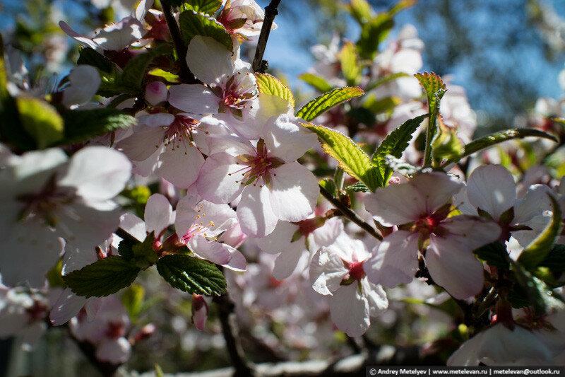 Китайская вишня в цвету