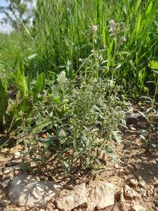 Хеноринум малый (Chaenorhinum minus)