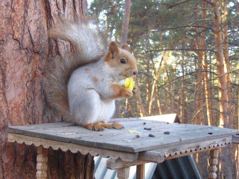 ... видит белочка при всех золотой грызёт орех...
