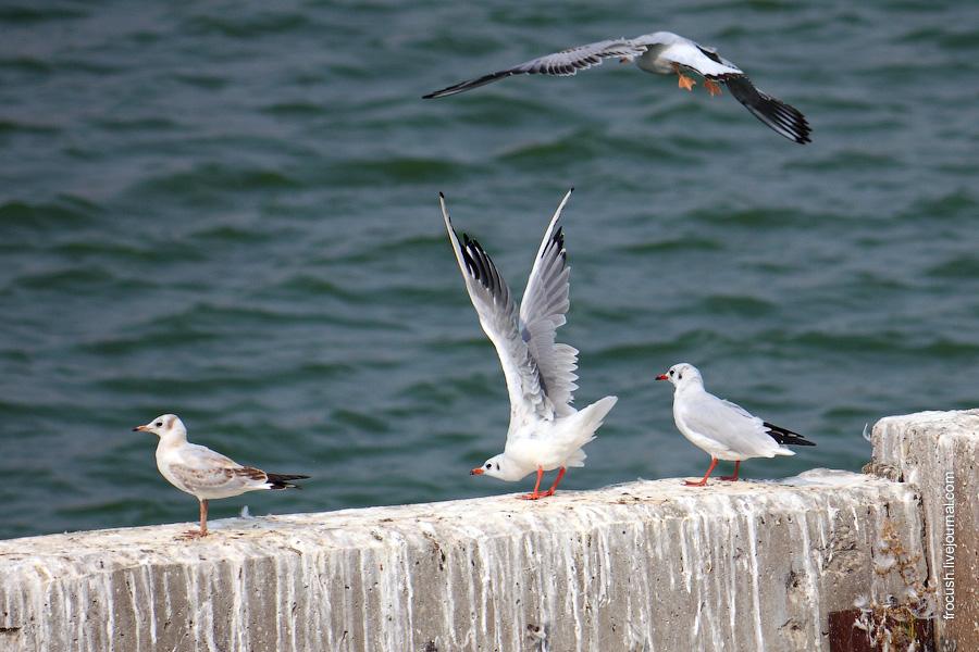 Чайки в Тольятти