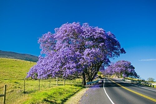 фото дерево палисандр