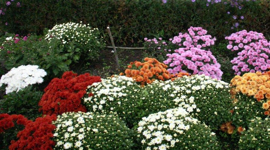 Как сажать хризантемы осенью в саду 75