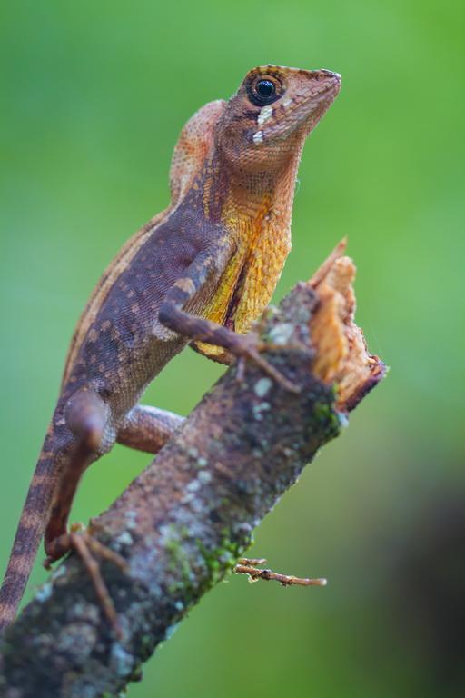 Скрытоухая агама Вигмана (Otocryptis wiegmanni)_Sinharaja NP_эндемик Шри-Ланки_14_новый размер.jpg
