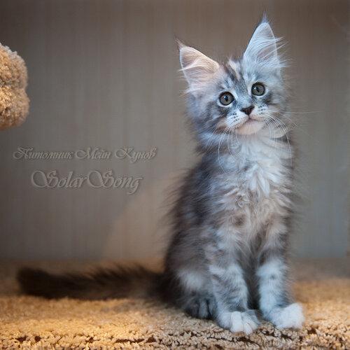 Кошка мэйн кун питомник Владивосток
