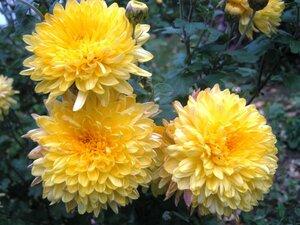 Вот и осень пришла - хризантемы цветут!