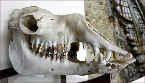 При прокладке туннеля найдены останки ископаемых животных