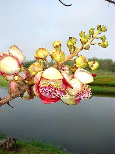 Цветок Фикуса религиозного
