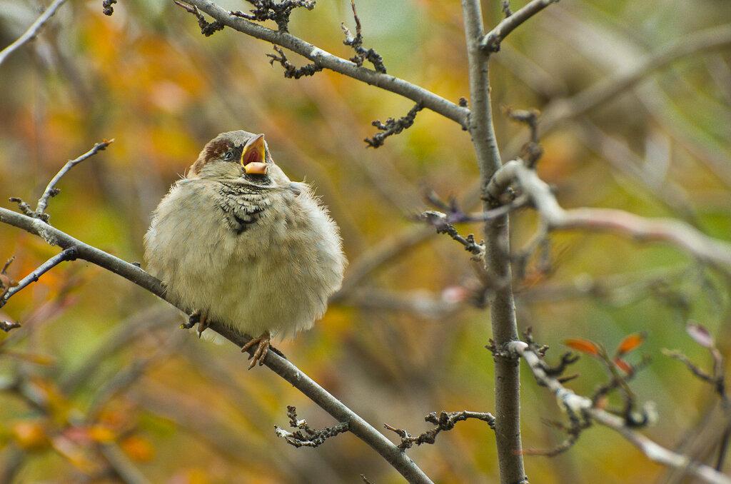 Воробей - птичка певчая. Фотоохота осенью на телеобъектив Никон 70-300 в связке с камерой Никон Д5100.