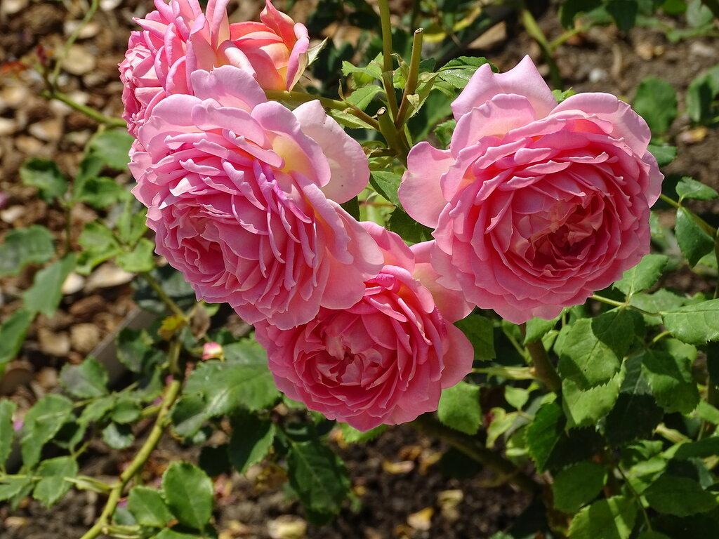 295 Розарий принцессы Грейс.JPG