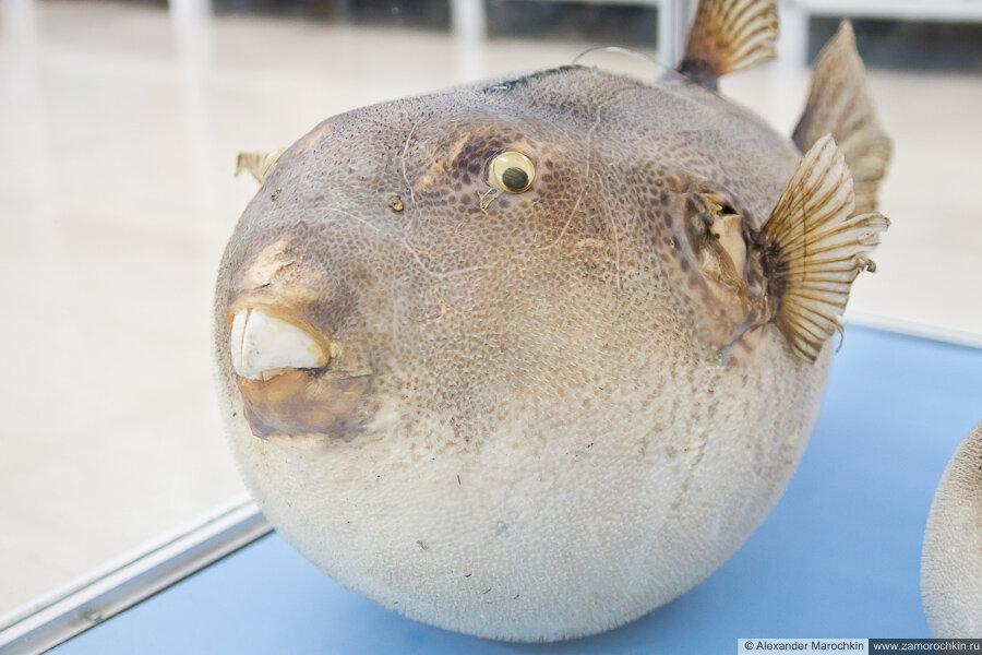 Рыба-шар в музее ракушек Корфу