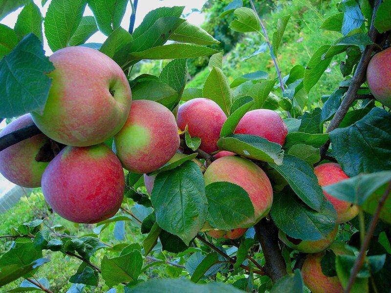 Осень,сОстров, подворье,райский садик,урожай