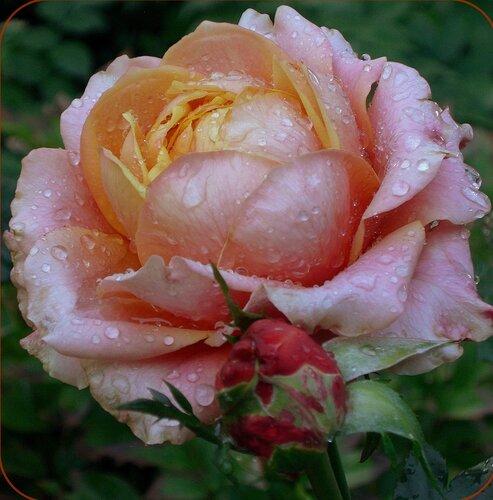 Царица-роза (для Лилии)