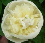 Денис (розовидный пион).  Цветок белый с желтоватым оттенком и зеленоватым основанием лепестков, диаметром до 12 см...