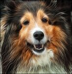 Sheltie collie 8079