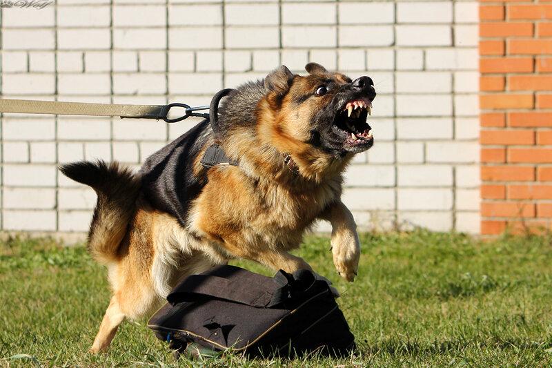 05 октября Кубок Алтайского Края по спортивно прикладному собаководству ОКД/ЗКС 0_c016d_982e84b7_XL