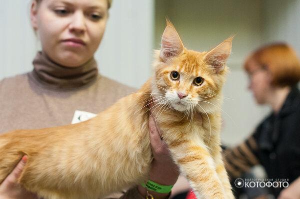 мейн беременная куна фото кошка