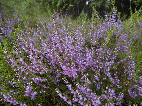 Вереск обыкновенный (Calluna vulgaris) Автор фото: Привалова Марина