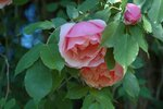 Lijiang Rose.jpg