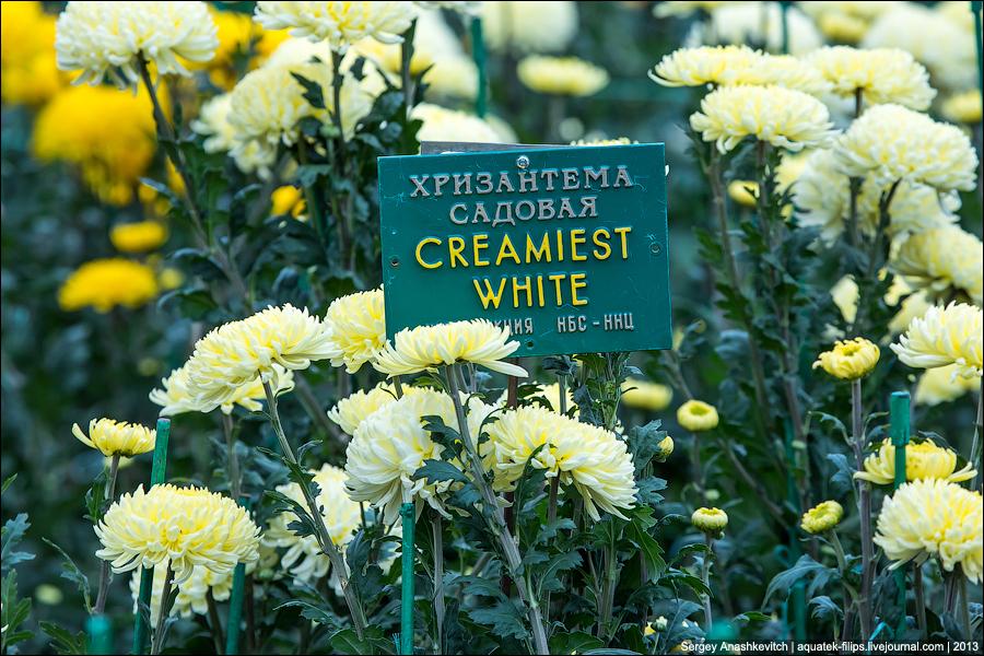 Бал хризантем в Никите