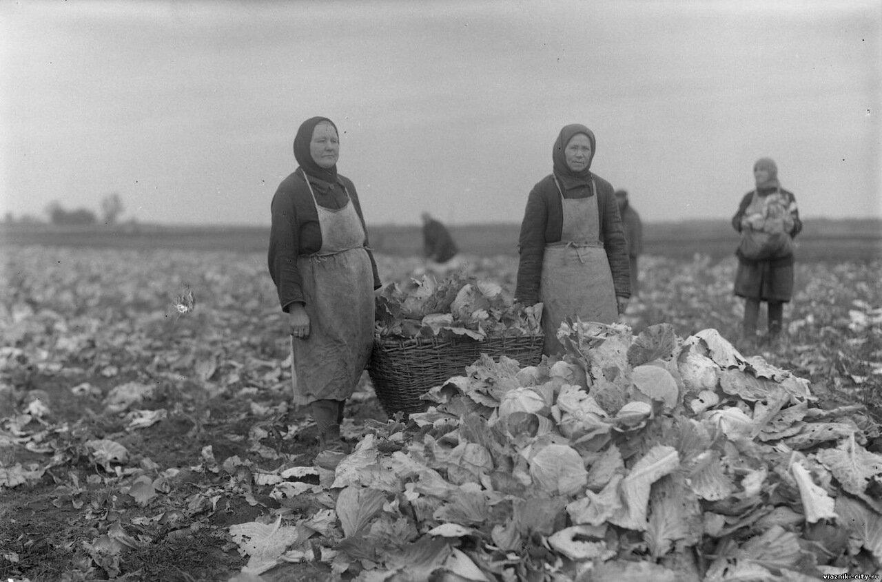 Уборка капусты в пригородном хозяйстве фабрики Свободный пролетарий. 1932