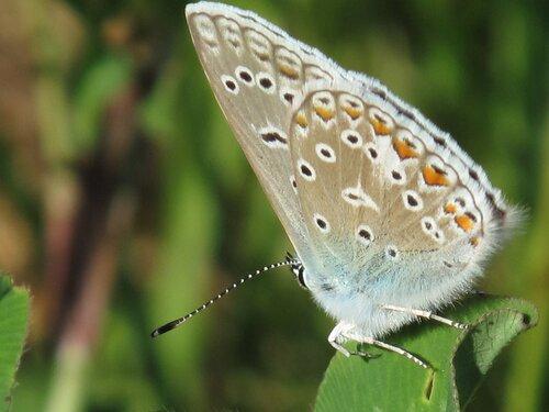 Голубянка Polyommatus icarus   Rottemburg.