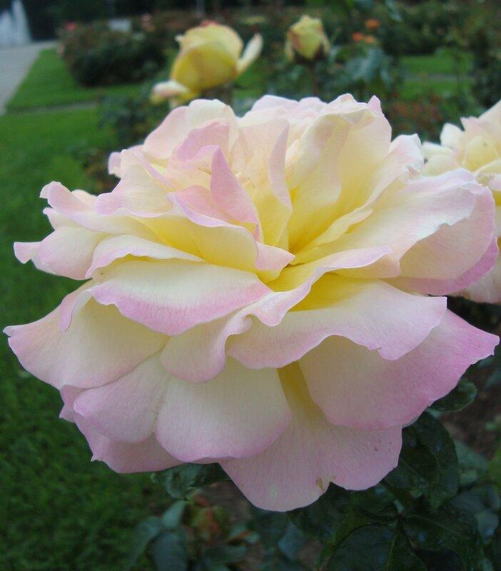 Розовое сияние
