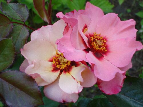 Роза элиссар принцесса финикийская