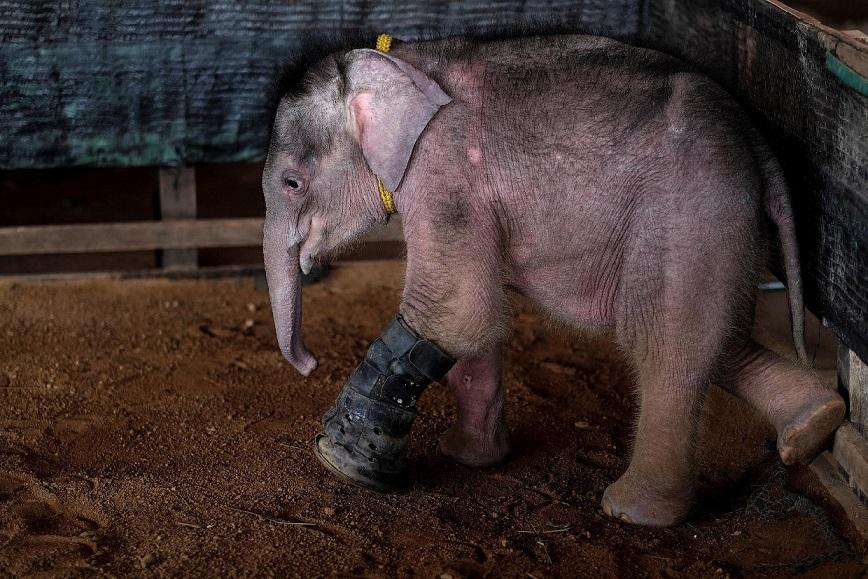На пострадавшую ногу слоненку приладили деревянный протез, закрепленный кожаными ремнями.